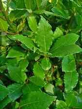 Laurus Nobilis. Bay Leaf tree 5 seeds.