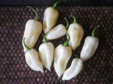 30 BHUT JOLOKIA WHITE GHOST CHILLI GUINDILLA FANTASMA SEMILLAS SEEDS PEPPERS