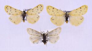 3 x Setina roscida aus Ungarn/Österreich