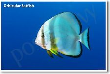 Orbicular Batfish - NEW Animal Wildlife POSTER
