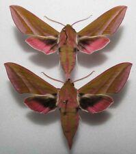 Deilephila elpenor pair from PL (mounted)