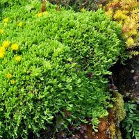 "ONE 6""TO 8""  ICE PLANT DELOSPERMA CONGESTUM  GROUND COVER  HARDY YELLOW FLOWERS"