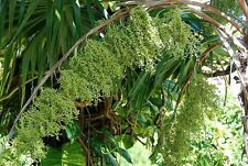 *50 fresh Seeds*Thrinax Parviflora*Thatch Palm*free shipping*