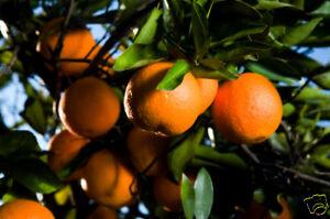 Orange Blumenwasser 250ml
