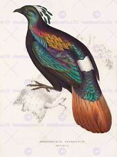 La PITTURA Birds Himalaya Gould dell'Himalaya lophophorus 12x16'' art print poster lah572b