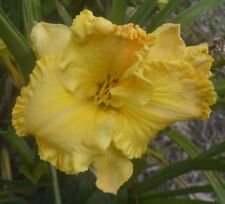 PLANTS-DAYLILY- H.'Eleanor Roosevelt'