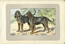 Stampa antica CANE GRIGIO DI SAN LUIGI 1907 Old antique print dogs