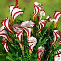 100Pcs Oxalis Versicolor Flowers Seeds Rare Flowers For Garden & Home Plant Hot