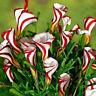 100Pcs Oxalis Versicolor Flowers Seeds Rare Flowers For Garden & Home Plant Hot