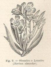 B1182 Nerium oleander - Incisione antica del 1929 - Engraving