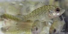 Live red ear sunfish sm. for fish tank, koi pond or aquarium