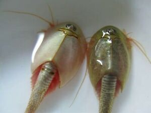 "TRIOPS newberryi : (100-150+) high quality&pure eggs """" NEW """""