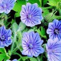 Geranium - Bohemicum Orchid Blue - 5 Seeds