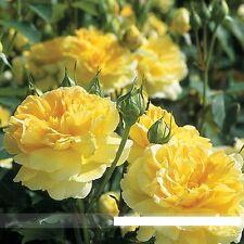 50 Heirloom Yellow Upright Fragrant Tea Rose Shrub Flower Seeds, Professional Pa