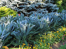 Palmkohl 120 semillas Brassica oleracea