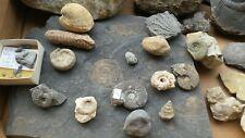 Kiste interessanter Fossilien - diverse Fundorte -Ammoniten, Schnecken, Muscheln