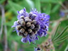Vitex Agnus Castus - vitex, chaste tree, chasteberry - 300 Seeds