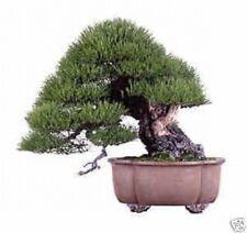 NERO giapponese pine-10 SEMI FRESCHI, OTTIMA PER BONSAI
