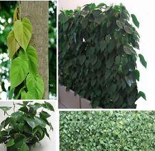 Rapel-Philodendron planta sauces habitación plantas siempre verdes exot fragancia