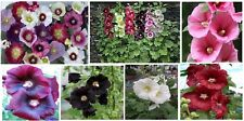Mixed Colors Pretty Hollyhocks Cherry Pink Purple White Red 25 +Seeds Usa Seller