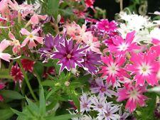 30+ TWINKLE STAR MIX PHLOX FLOWER SEEDS / SHADE PERENNIAL
