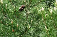 100% Naturreines Ätherisches PINIENÖL (Pinus palustris), Portugal, 10 ml