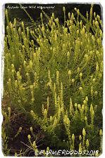 Reseda Lutea 'Wild Reseda' [ex. Co. Durham, Inglaterra] 1000+ semillas