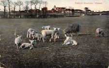 Minster, Petfield Meadows, sheep herd flock 1907