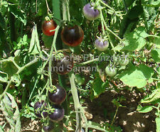 MIRTILLO blu Tomate 10 Semi e Raccolto raramente croccanti dolce Balcone