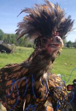 5 Fertile Chicken Hatching Eggs Barnyard Mix Rare Breeds Possible Polish