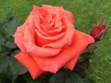 LADY ROSE   Hybrid Tea Bush Rose   7ltr Potted Rose Plant   Salmon Pink, Scented