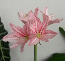 Star Lily Bulb 'Hippeastrum Reticulatum' Netted-Veined Amaryllis Flowering Size
