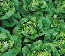 Lettuce Green 'Mignonette' (lactuca sativa) 150 Reliable Viable Seeds