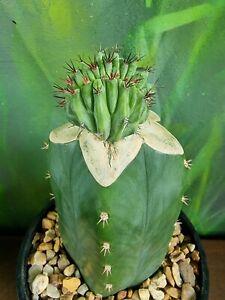 Polaskia chichipe Crest Rare Collectors Cactus Clone potted plant 🌵