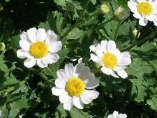 Chryanthemum Pure White Hybrid Seed Popular Annual Easily Grown