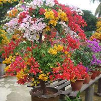 100PCS Mix-color Bougainvillea  Spectabilis Willd Bonsai Blume Samen HOT Sell