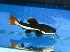 X3 RED TAIL CATFISH - PHRACTOCEPHALUS HEMIO - FRESHWATER LIVE FISH FREE SHIPPING