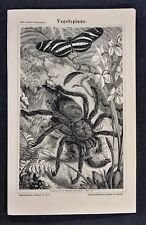 1875 Meyer Print Giant Tarantula Eating a Bird & Butterfly Amazon South America