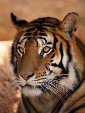 TIGER ANIMAL NATURE CAT PHOTO ART PRINT POSTER PICTURE BMP1434B