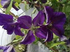 CLEMATIS 'JACKMANII SUPERBA'-  STARTER PLANT - CUT BACK - DORMANT