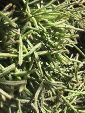Erythrorhipsalis pilocarpa | Rhipsalis - Rice Cactus | 2 Succulent Cutting