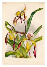 Cypripedium Lebaudyanum by Jean Linden Orchids A4 Art Print