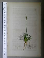 English Botany, Smith, Sowerby, handcoloured copperplate, 534, 3.Edition,1850.