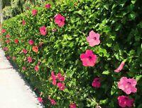 ❁ Hibiskus Samen❁ Eibisch ✿ Blumensamen ❀ Winterharte Hecken-Pracht ✿ Ƹ̵̡Ӝ̵̨̄Ʒ