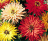 ZINNIA CACTUS MIXED COLORS Zinnia Elegans - 1,100 Bulk Seeds