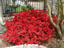 Azalea Midnight Flare Pint Plant FREE SHIP