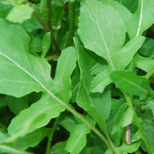 Rucola Samen Salatsamen