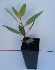 Eucalyptus platycorys (Gum Tree) in 50mm forestry tube native plant tree