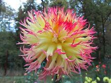 30 Dahlien Samen Dahlia Dahliensamen Seeds Blumensamen Gartenzubehör