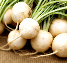 VEGETABLE - WHITE RADISH - ALBINA - 1500 seeds - Raphanus sativus